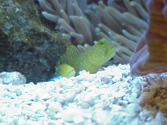 Purple Sleeper Goby : ... out. A purple fire fish is blurry in the foreground at the top